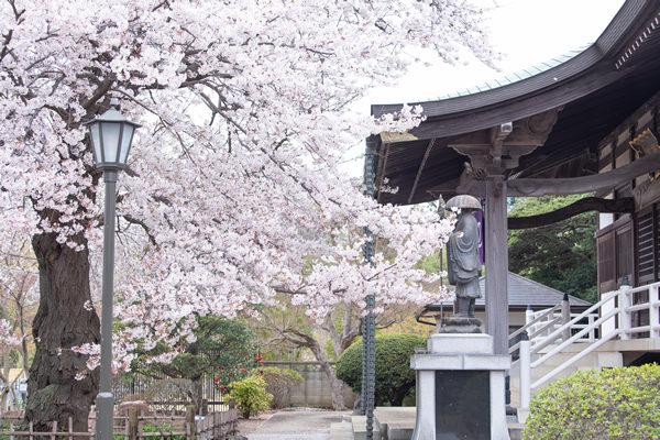 清瀧院の桜